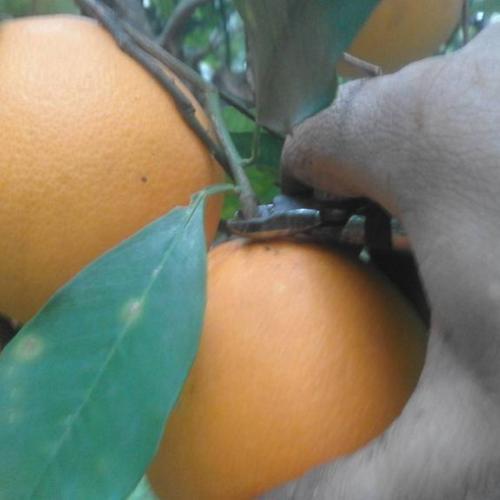arancia - arance ardizzone