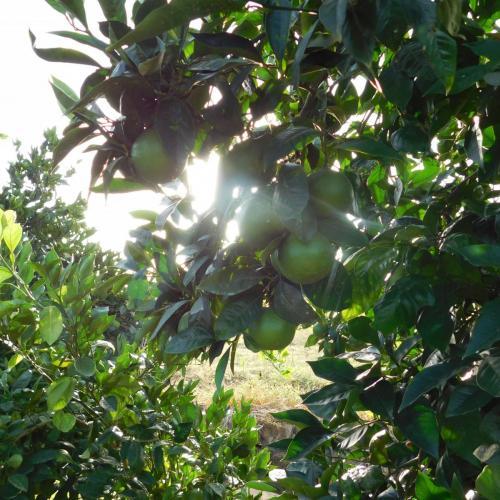 arance navel - arance siciliane
