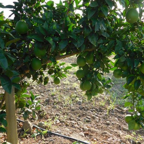pianta con frutto